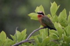 Mlilwane - White-fronted Bee-eater