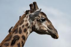 Hluhluwe-Umfolozi - Giraffe