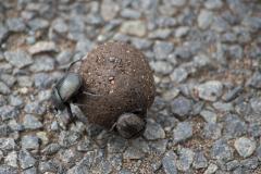 Hluhluwe-Umfolozi - Dung Beetle