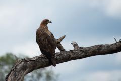 Hluhluwe-Umfolozi - Tawny Eagle