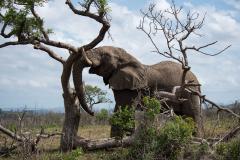 Hluhluwe-Umfolozi - Elephant with tree