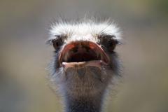 Oudtshoorn - Ostrich