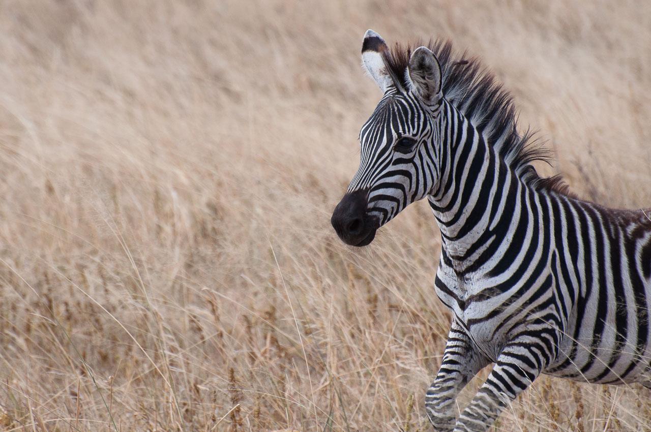 Tarangire NP - Zebra (Punda Milia)
