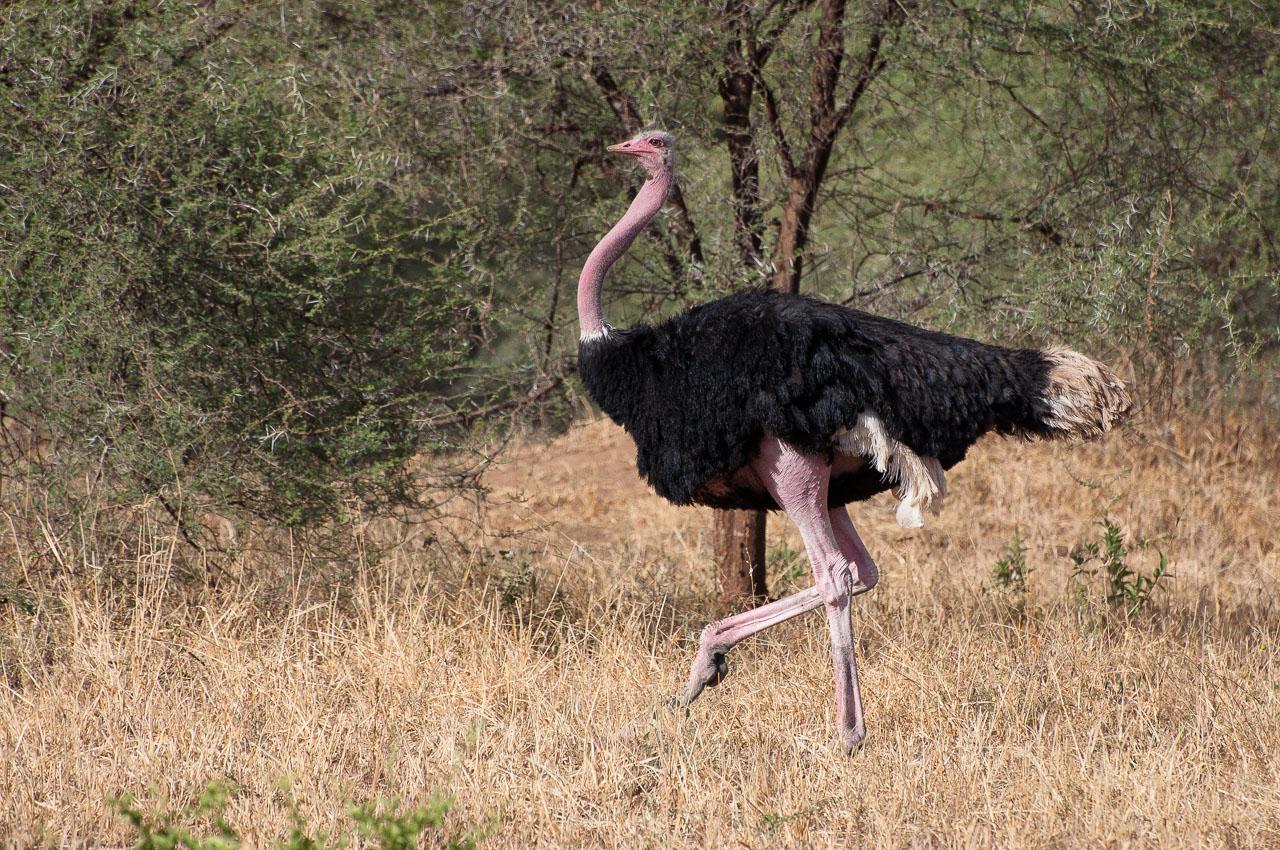 Tarangire NP - Ostrich (Mbuni)
