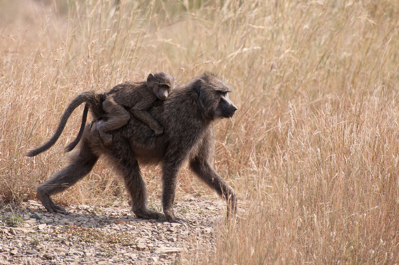 Serengeti NP - Olive Baboon (Nyani)