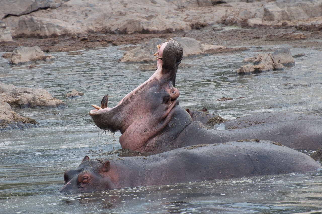 Serengeti NP - Hippo (Kiboko)