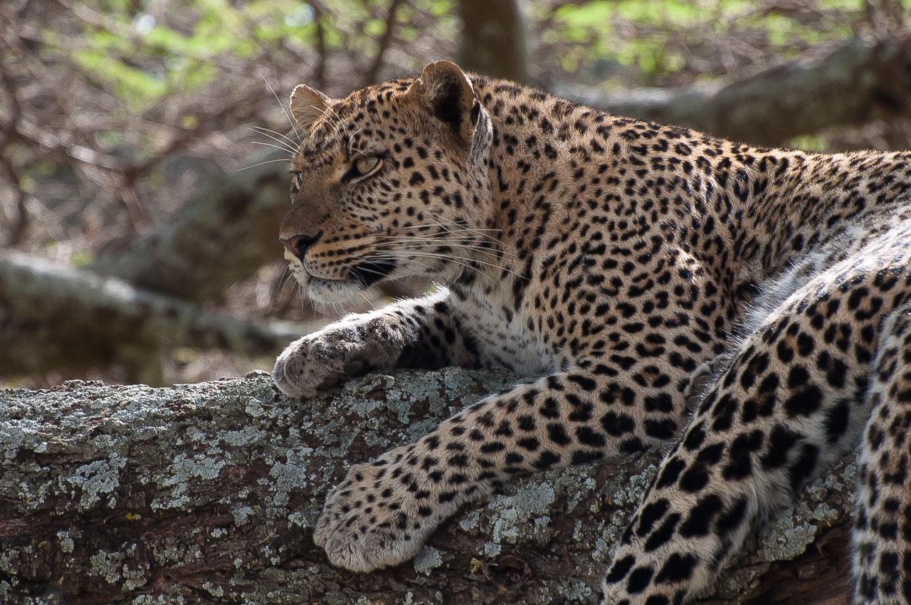 Serengeti NP - Leopard (Chui)