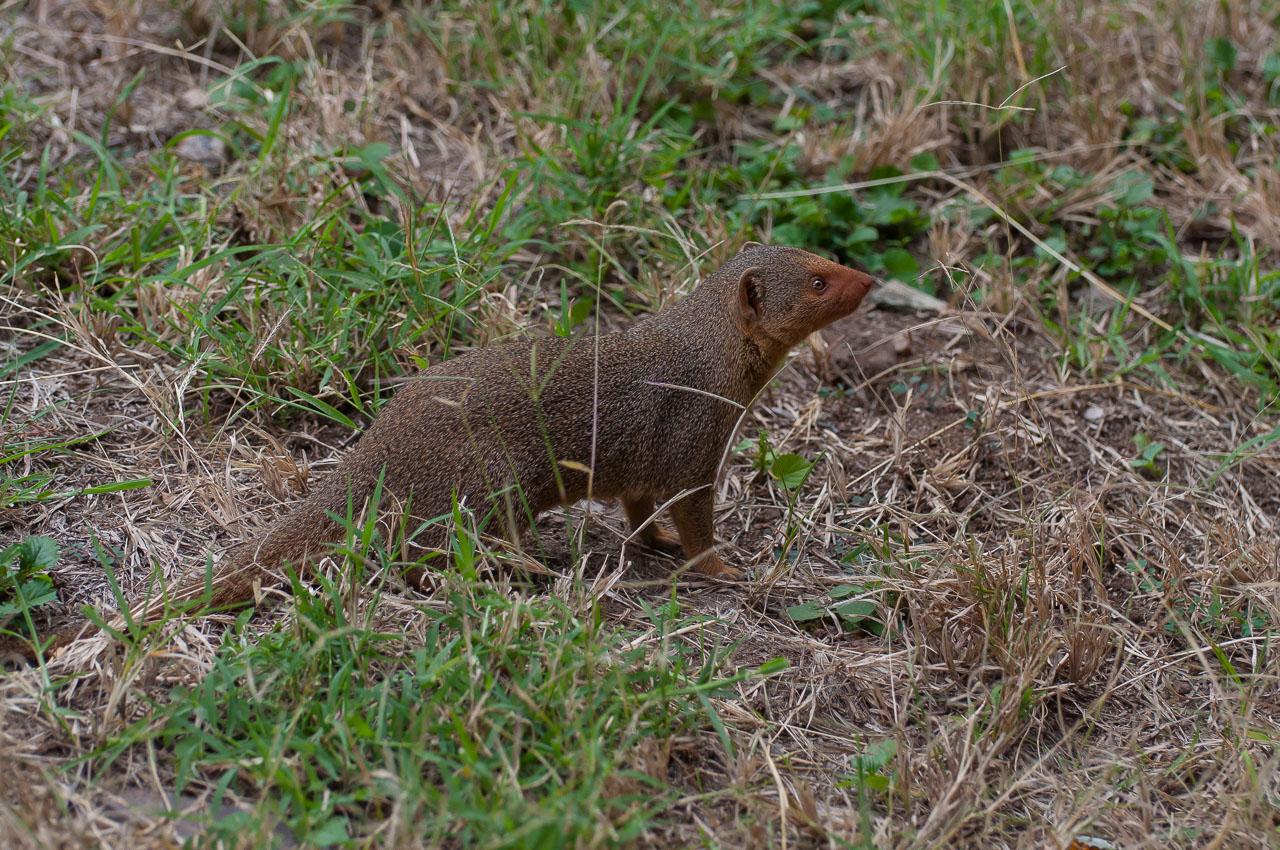 Serengeti NP - Dwarf Mongoose (Nguchiro)