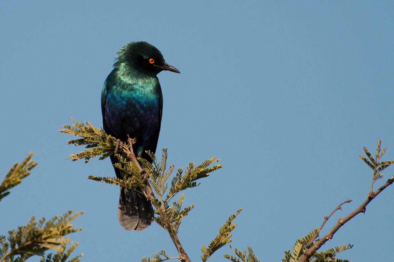 Serengeti NP - Blue-eared Starling