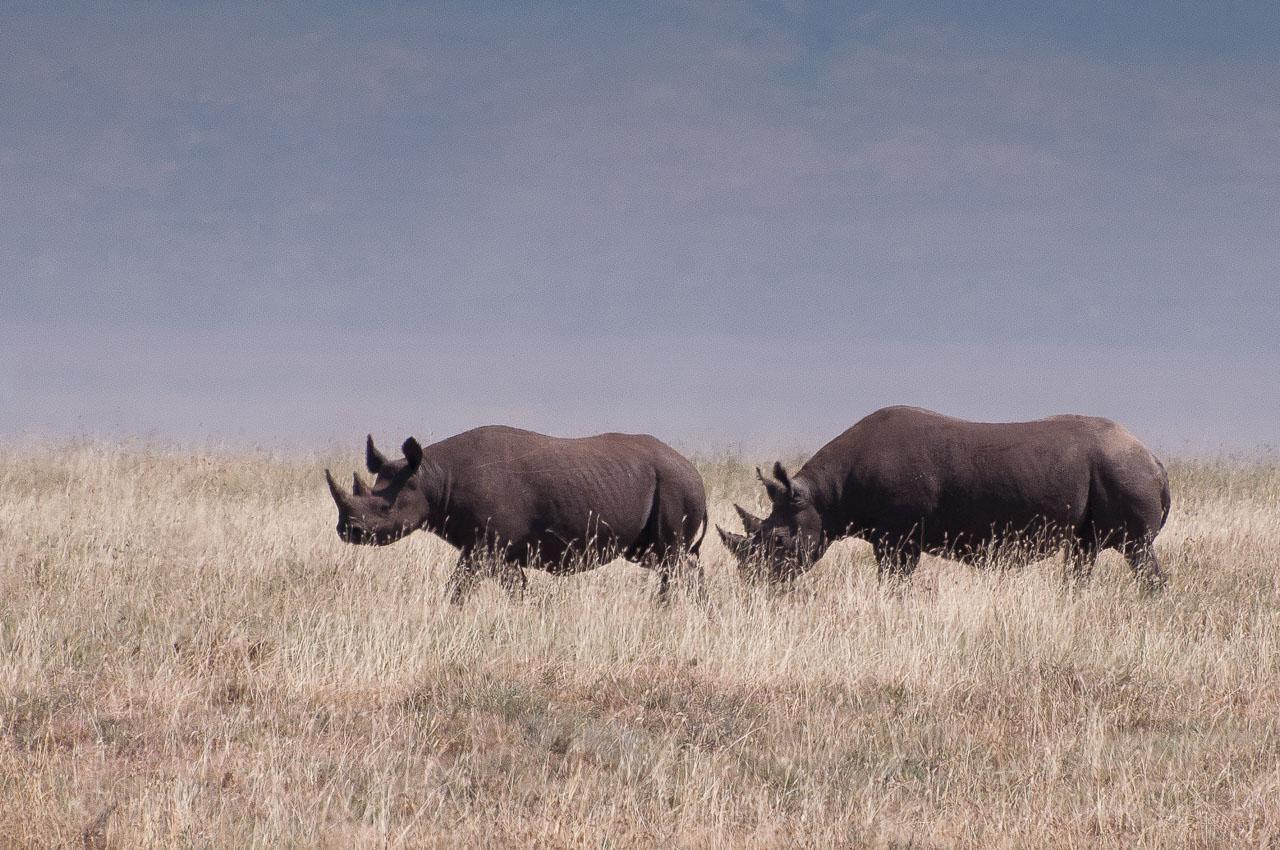 Ngorongoro Crater - Rhino (Kifaru)