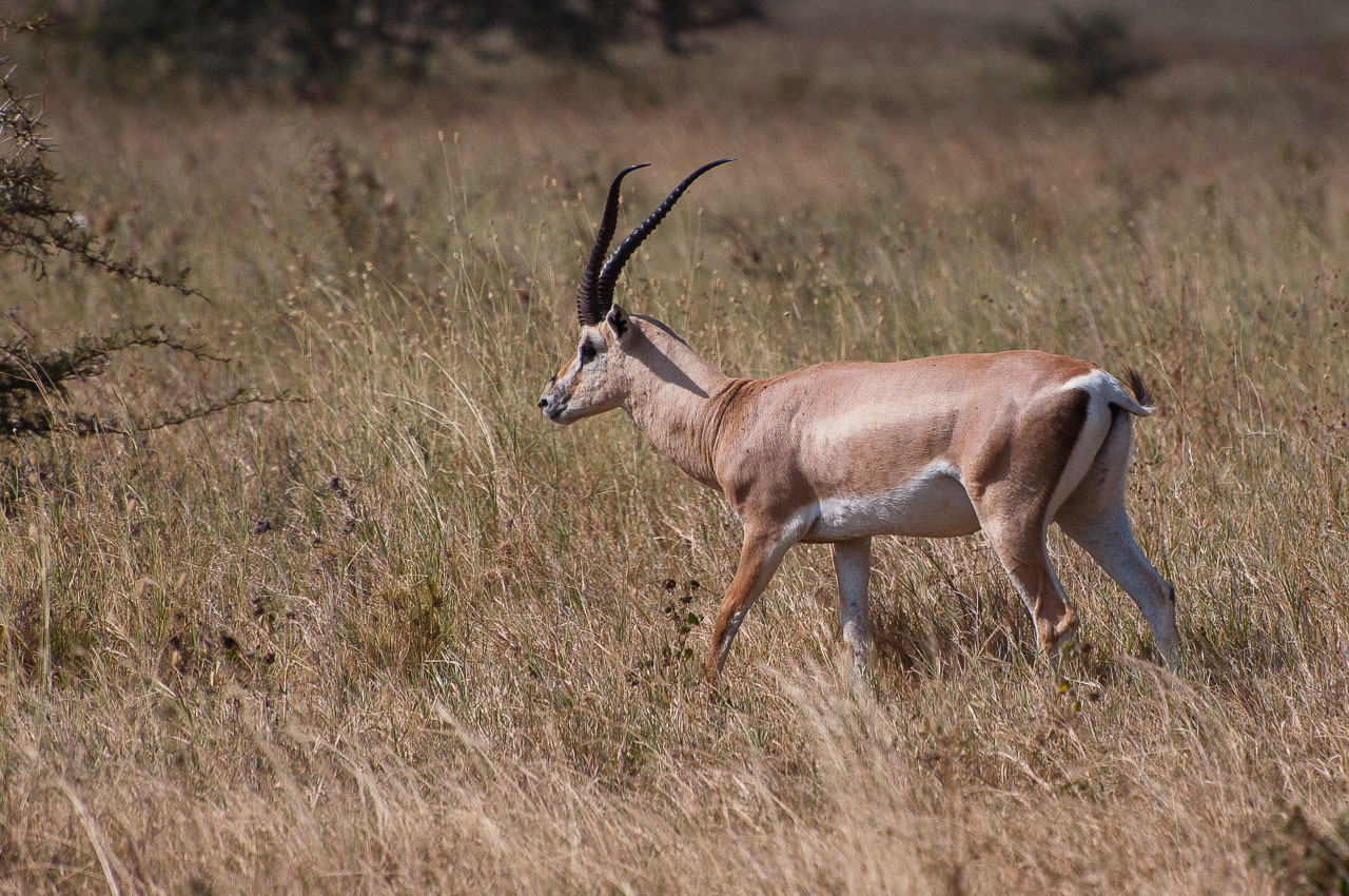 Ngorongoro Crater - Grant's Gazelle (Swala Granti)