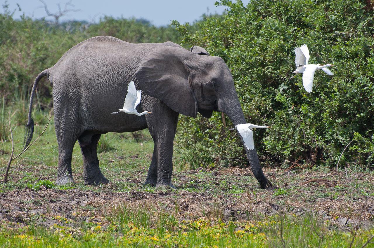 Selous Game Reserve - Elephant (Temba)