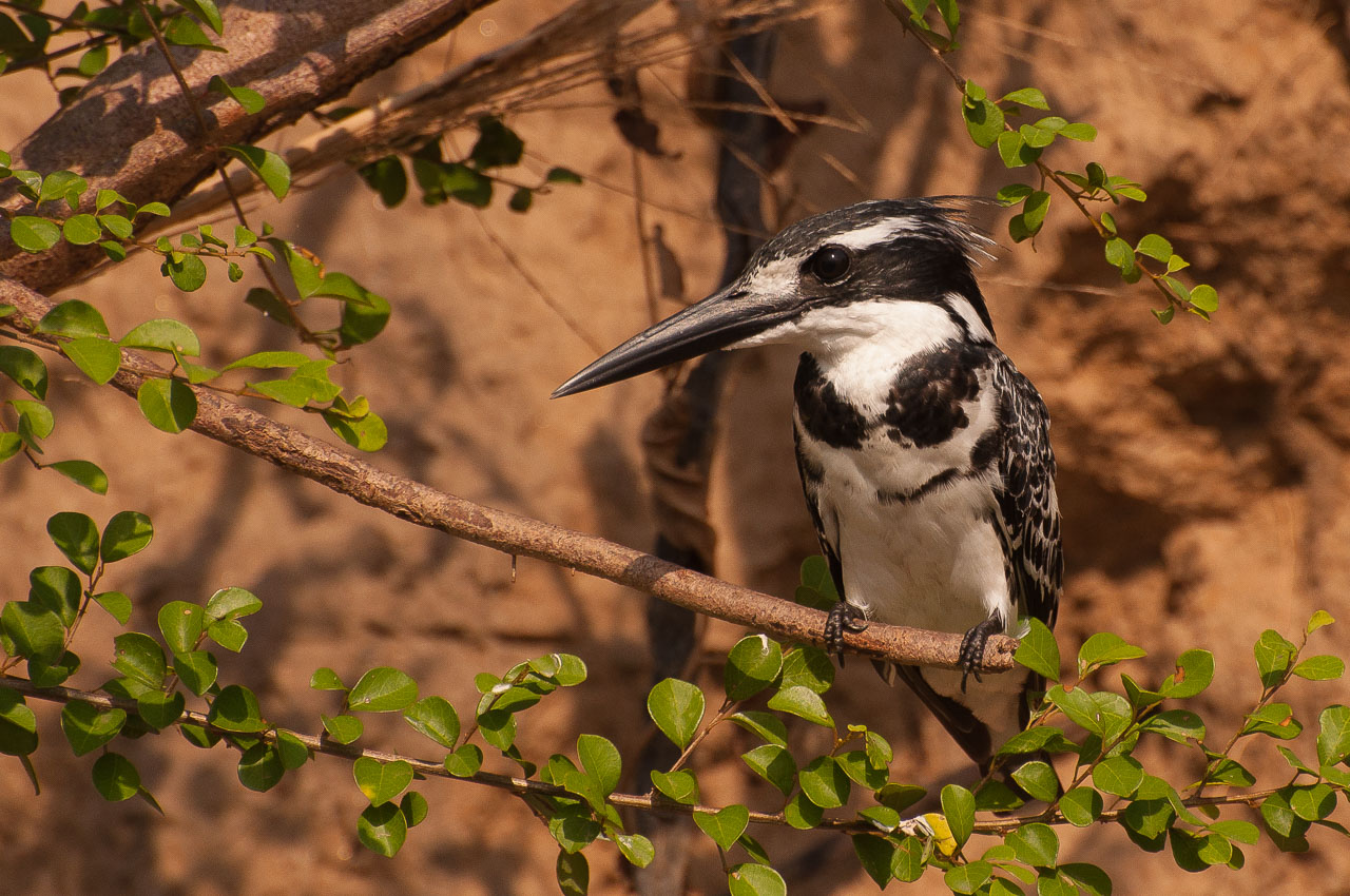 Selous Game Reserve - Pied Kingfisher