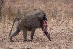 Tarangire NP - Olive Baboon (Nyani)