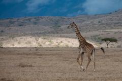 Tarangire NP - Masai Giraffe (Twiga)