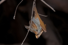 Lake Natron - Bat (Popo)