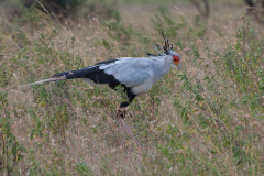 Serengeti NP - Secretary Bird