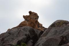 Serengeti NP - Lion (Simba)