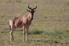 Serengeti NP - Hartebeest (Kongoni)