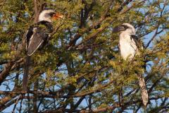 Serengeti NP - Von der Decken's Hornbill