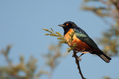 Serengeti NP - Hildebrandt's Starling