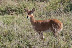 Serengeti NP - Reedbuck (Tohe)