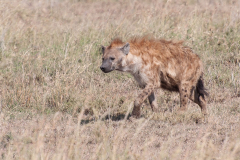 Serengeti NP - Hyena (Fisi)