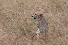 Ngorongoro Crater - Cheetah (Duma)