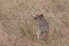 Ngorongoro Crater - Cheetah (Duma)