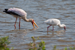 Selous Game Reserve - Yellow-billed Stork & African Spoonbill