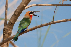 Selous Game Reserve - White-fronted Bee-eater