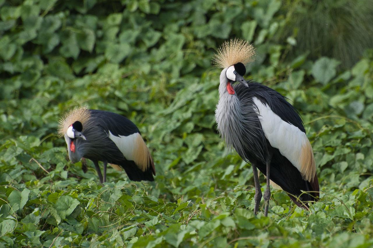Murchison - Grey-crowned Crane