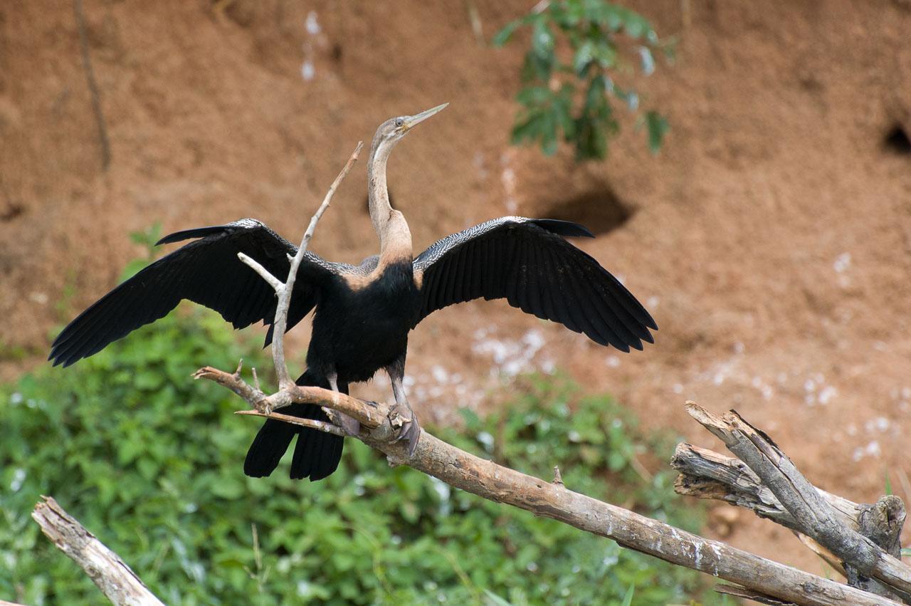 Murchison - African Darter