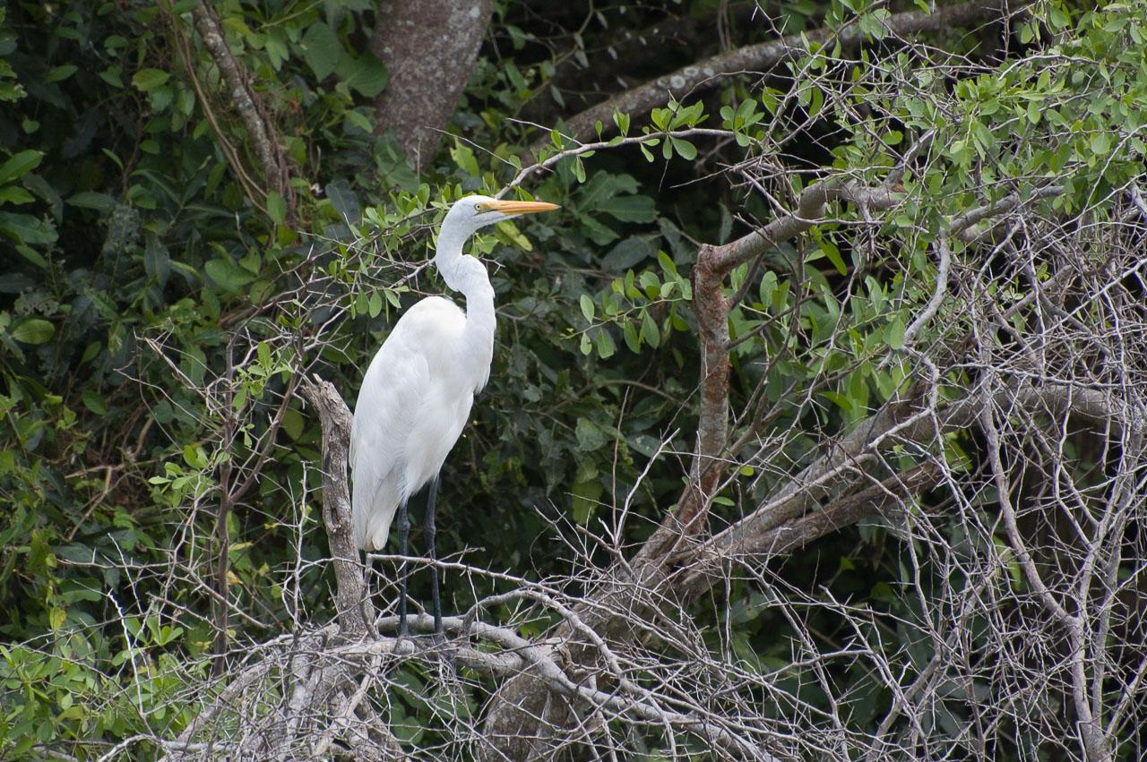 Murchison - Great White Egret