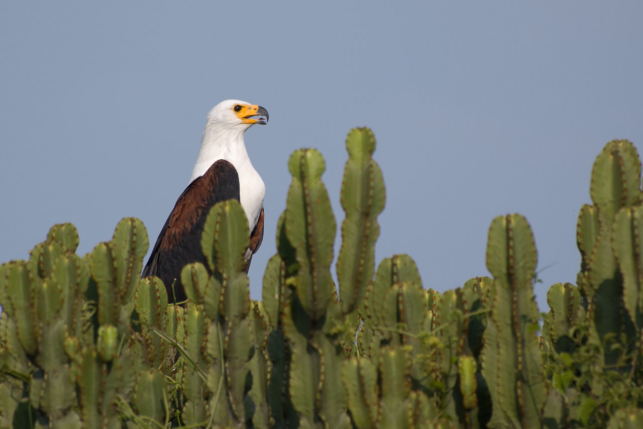 Queens - African Fish Eagle
