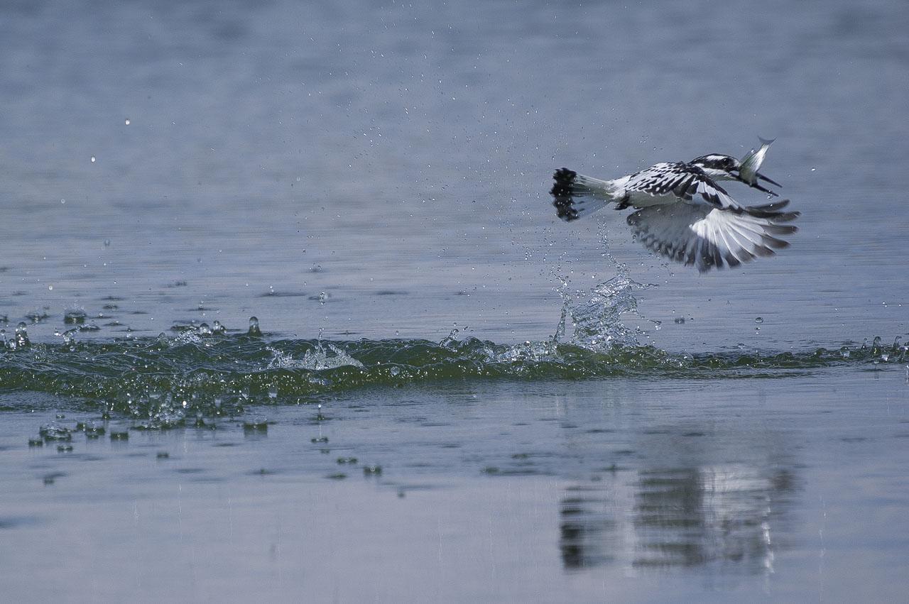 Queens - Pied Kingfisher