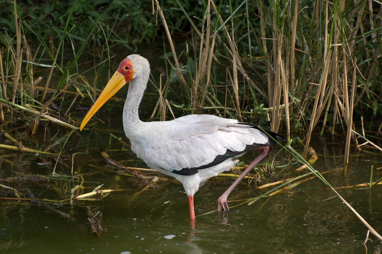 Queens - Yellow-billed Stork