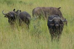 Murchison - African Buffalo