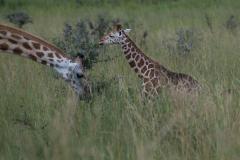 Murchison - Rothschild's Giraffe