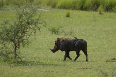 Murchison - Warthog