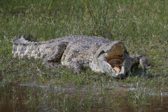 Murchison - Nile Crocodile