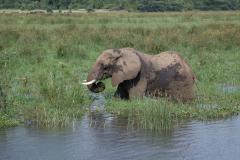 Murchison - African Elephant