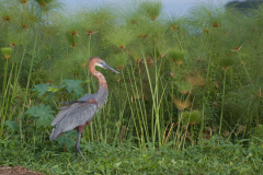 Murchison - Goliath Heron