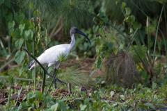 Murchison - Sacred Ibis