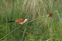 Murchison - Coucal
