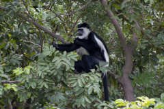 Murchison - Black-and-white Colobus