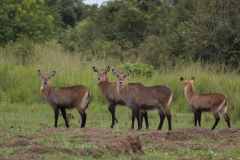 Murchison - Waterbuck