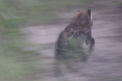 Queens - Spotted Hyena on the run