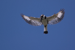 Queens - Pied Kingfisher