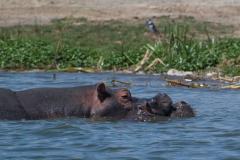 Queens - Hippo